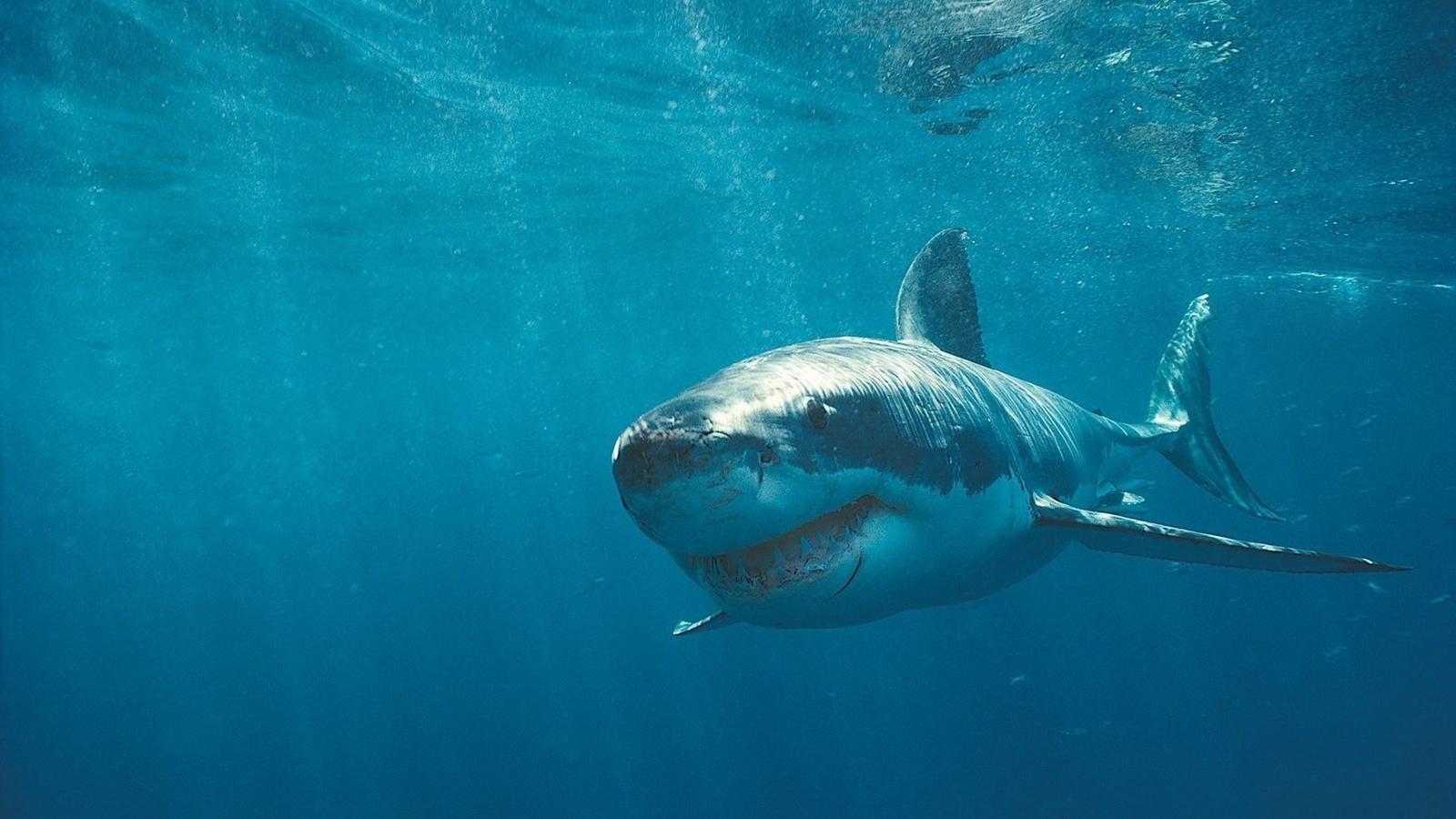 Акула шрамы под водой зубы хищники