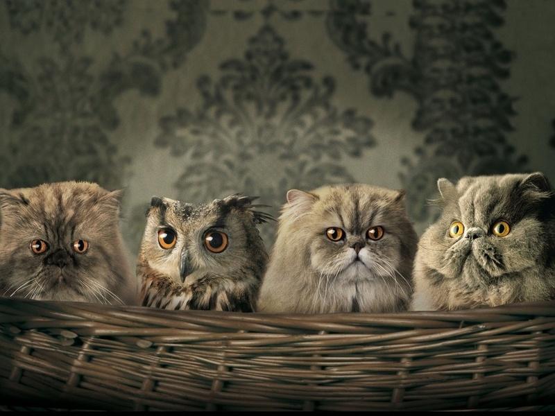 коты, сова, большие глаза, обои, корзинка, взгляд, глаза, пернатые