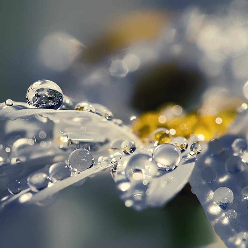 цветок, Лепестки, сияние, ромашка, роса, блеск, капли