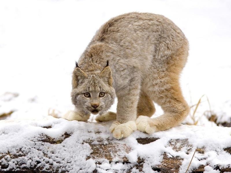 Кошки, дикая кошка, рысь, хищники, кис-кис-мяу-мяу, взгляд.страх,земля,снег,трава,сила, взгляд