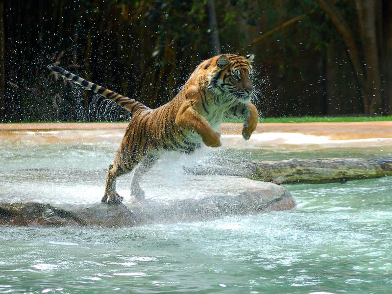 Тигр, tiger, water, jump, прыжок, вода, powerful animal, лапа, животные, хищники, кошачьи