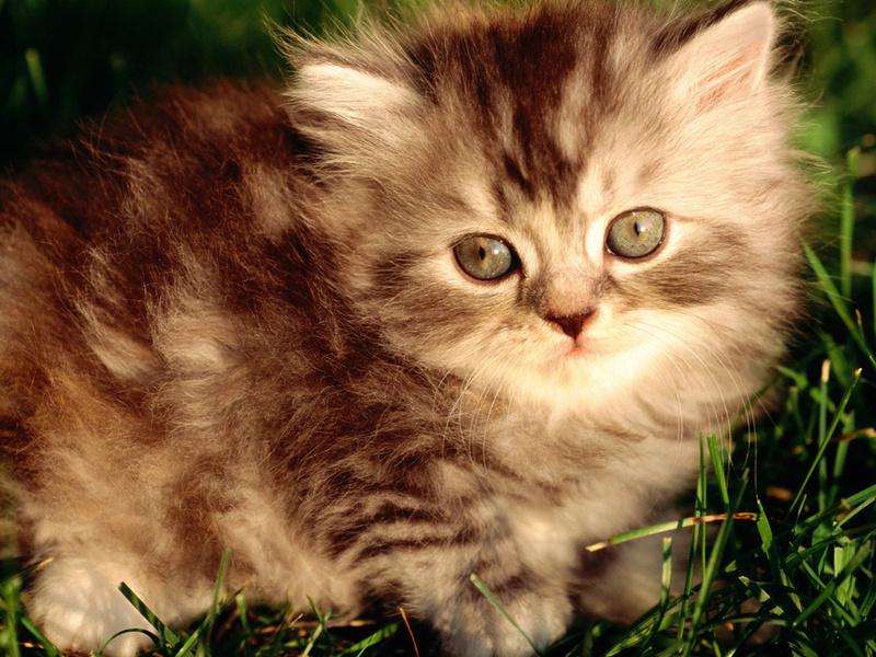 Серый котенок, пушистый, полосатый, животные, взгляд, котята, кошачьи, глаза