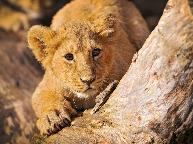 малыши, дерево, лев, львы, бревно, пенёк, Дикие кошки, животноє, хищники, взгляд, животные, кошачьи, глаза