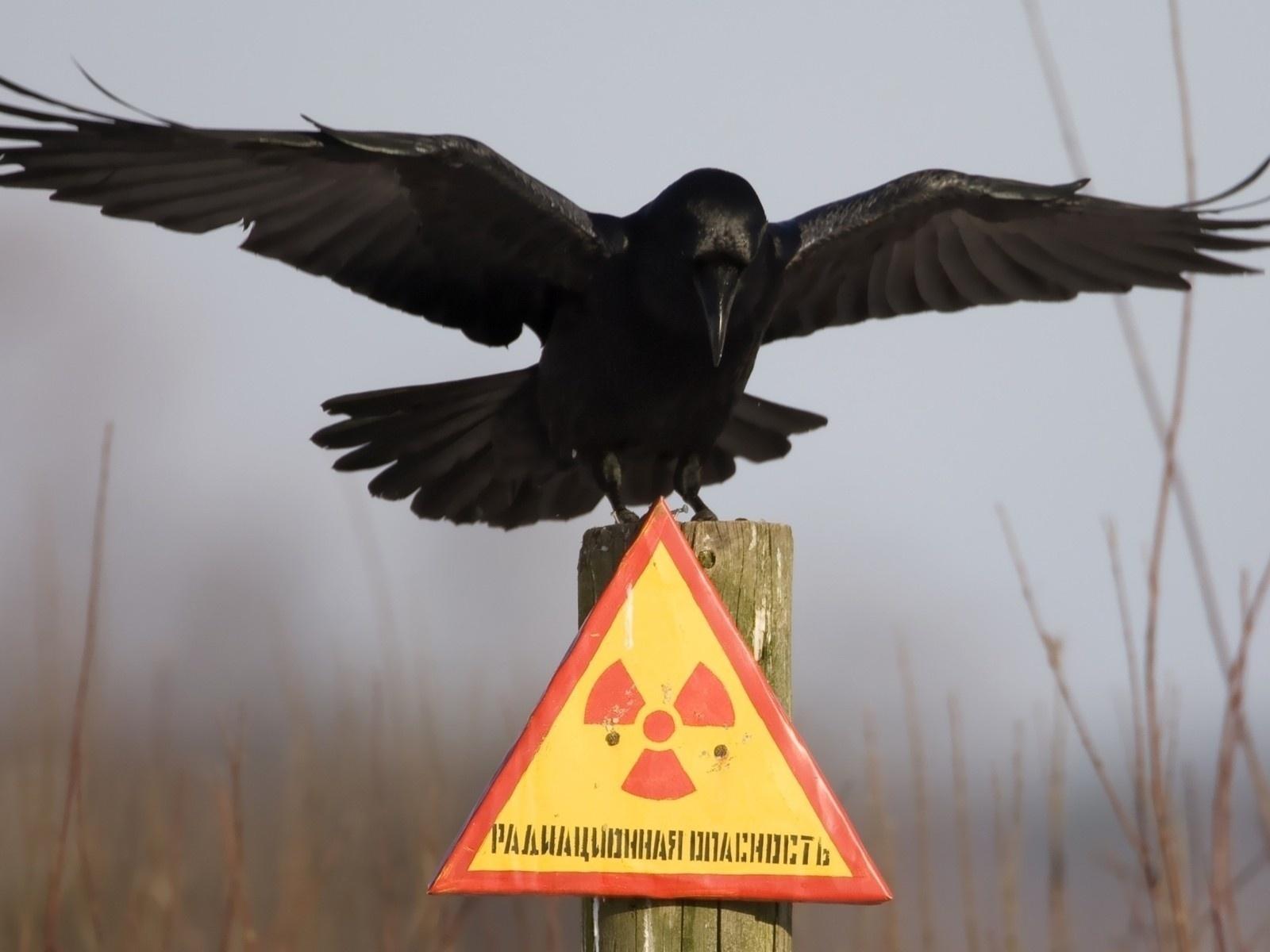 зона, радиация, знак, ворон, туман, опасность, серость, животные, птицы