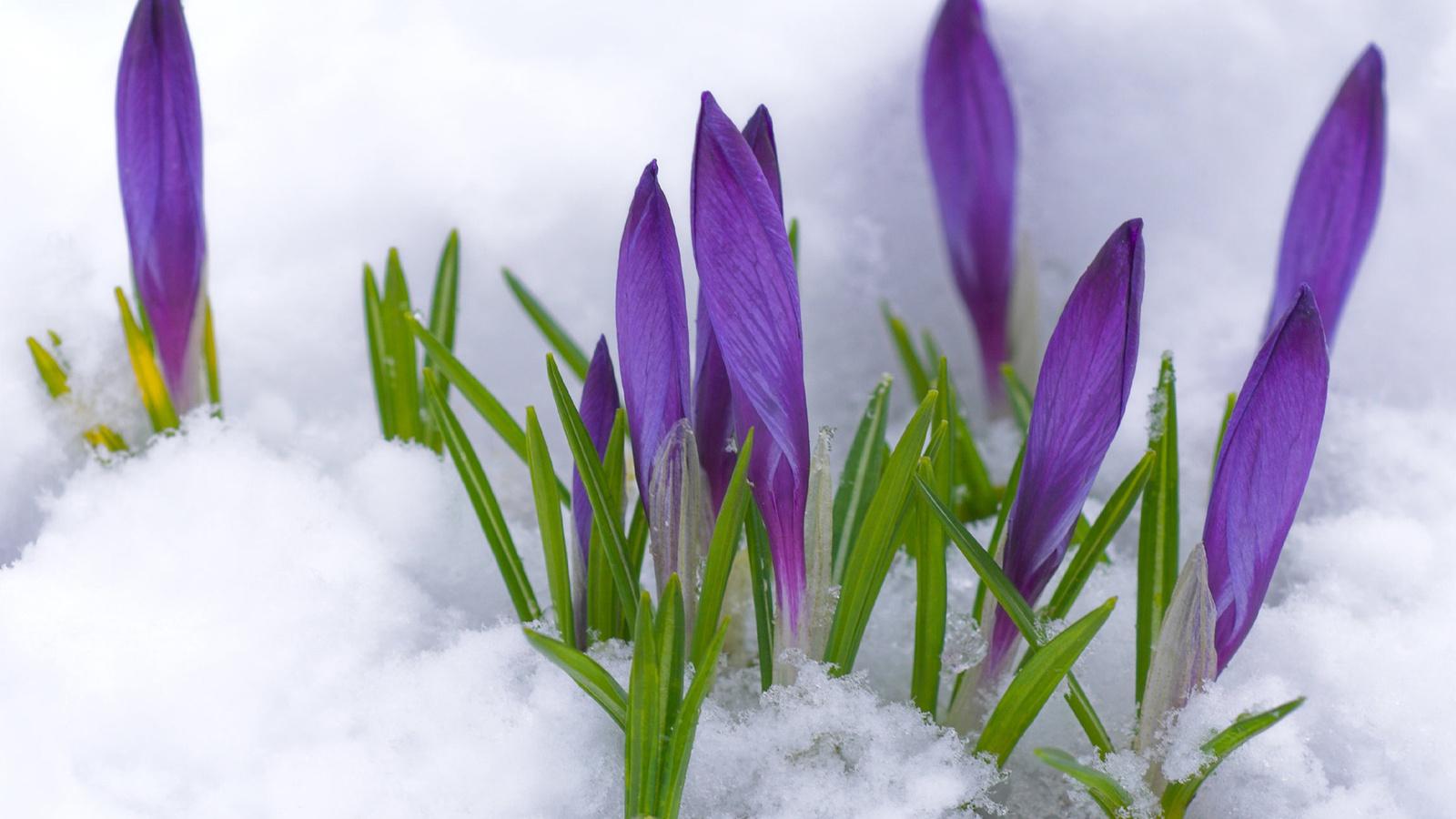 Крокусы снег первоцвет весна бутоны