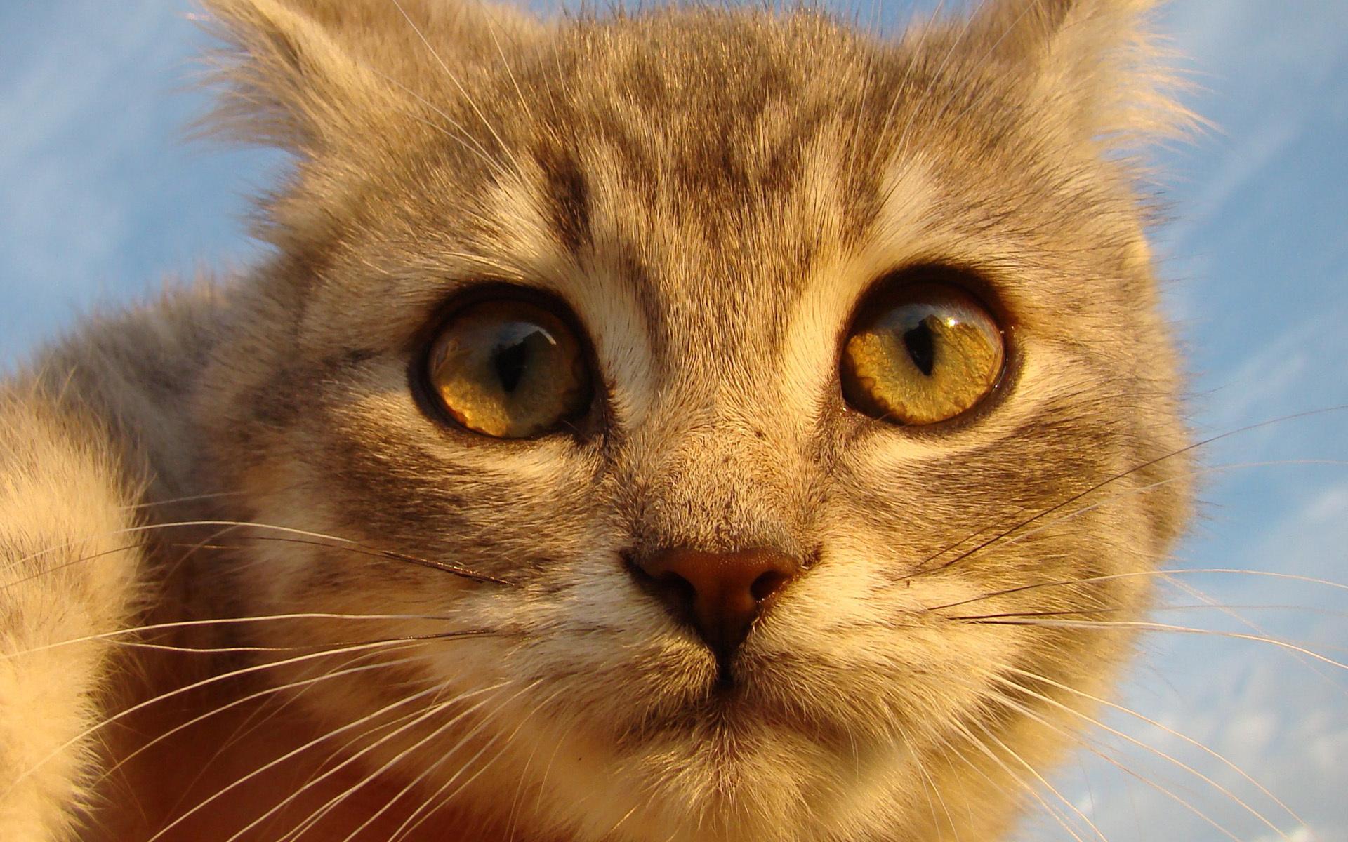 рыжий, смотрит, Кот, кот, глаза, морда, нос, усы