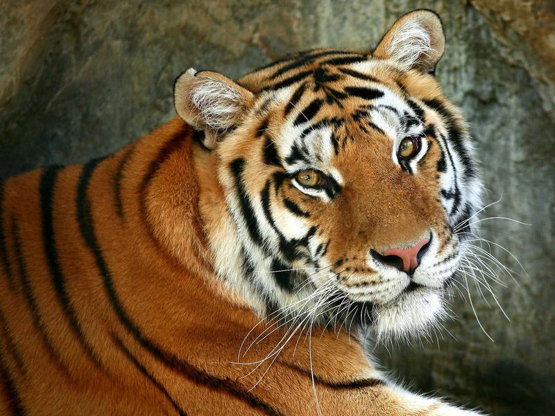 морда, хищник, зверь, тигр, кошка, Животное, дикая, кошачьи, глаза, макро