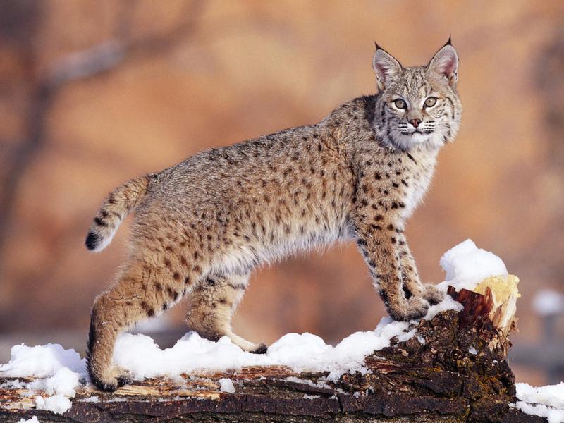 Рысь, зима, снег, хищник, взгляд, шерсть, животные, кошачьи