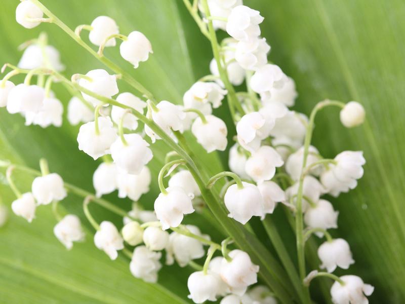 бутоны, букет, цветы, листья, весна, Ландыши