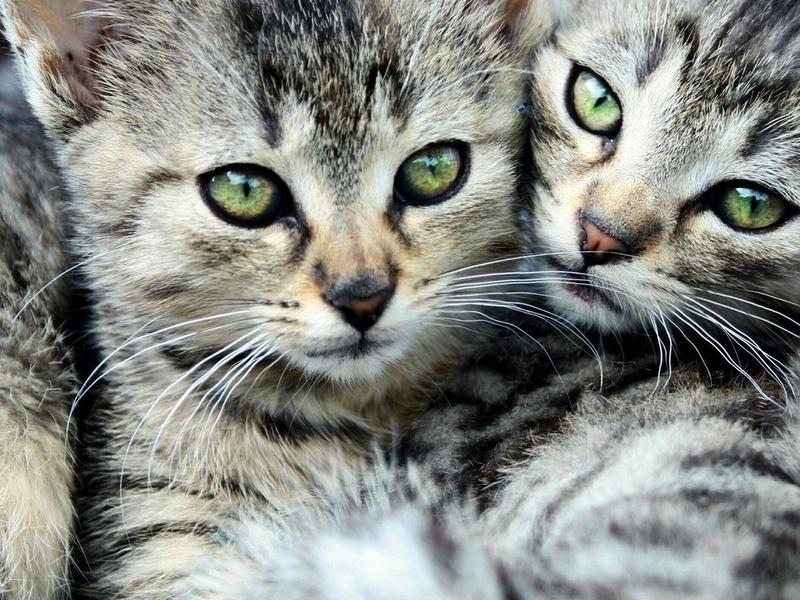 глаза, полосатый, двое, усы, Коты