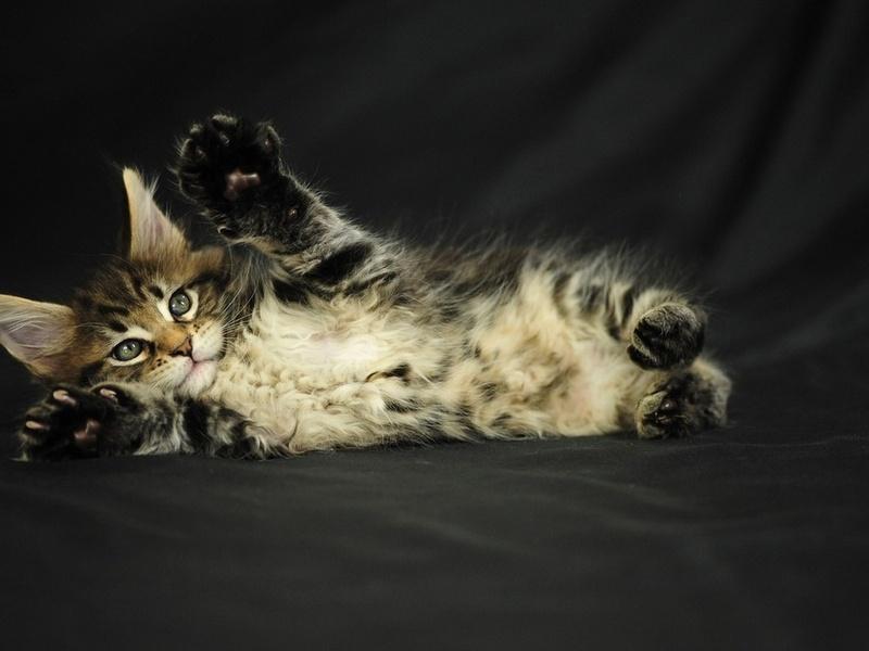 котенок, Кот, серый, мейн-кун, пушистый
