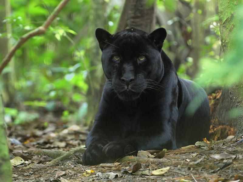кошка, кошачьи, киска, морда, чёрная, джунгли, Пантера