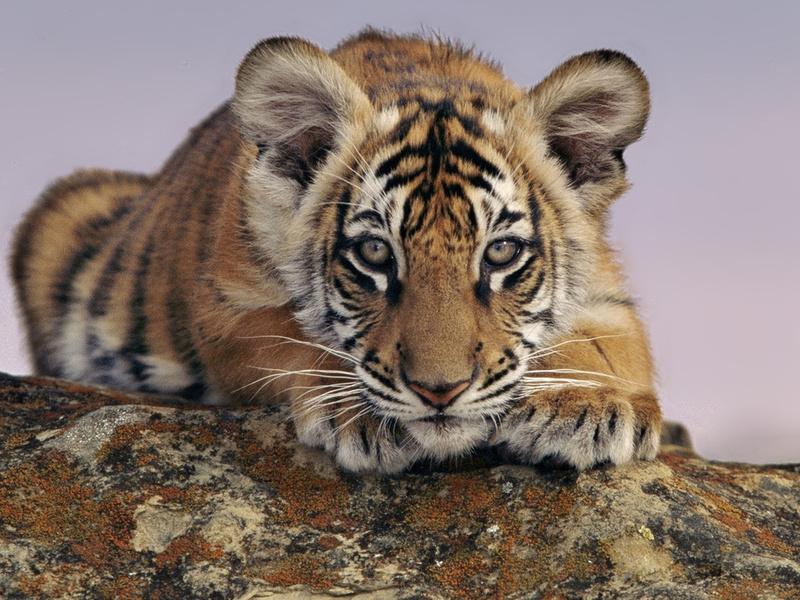 Животные, смотрит, тигренок, тигр
