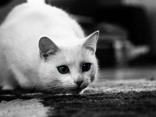 чёрно-белое, котенок, мордочка, любопытство, Кот, уши