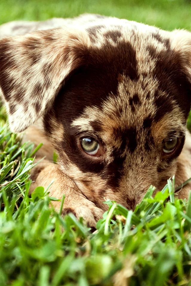 взгляд, трава, щенок, Собака, пятнистый