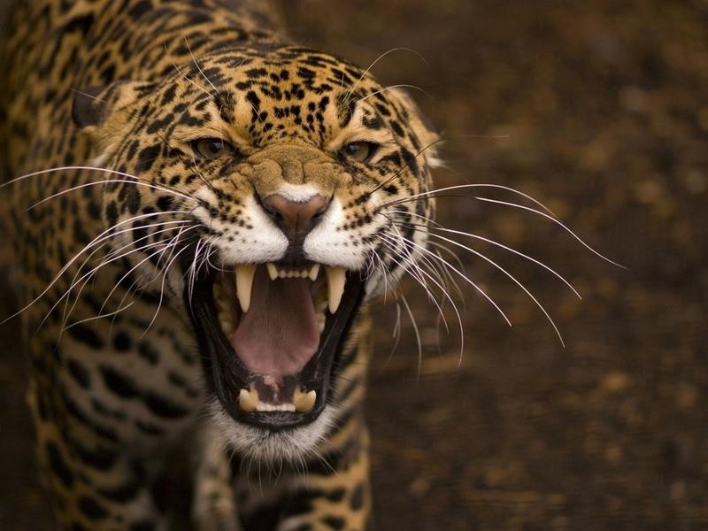 оскал, дикая кошка, хищник, пасть, Ягуар, макро, усы