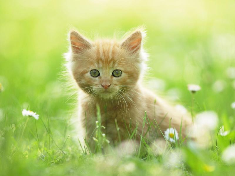 ромашки, трава, лето, рыжий, котенок, Kitten