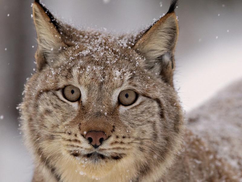взгляд, снег, Рысь