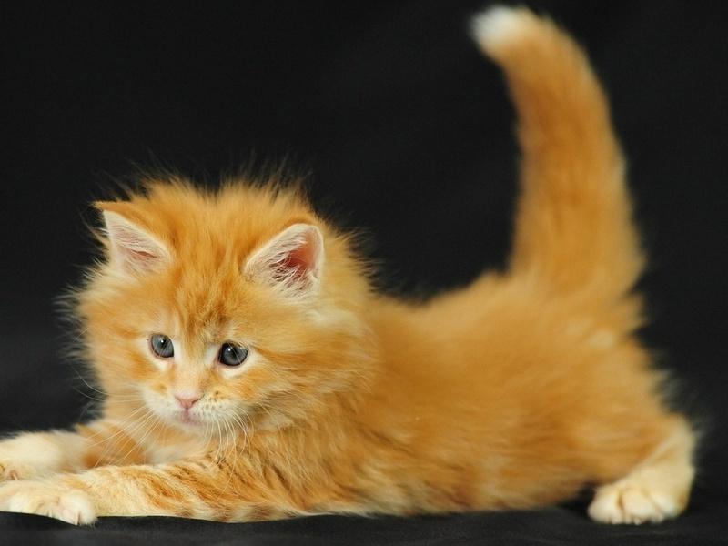 пушистый, рыжий, Котенок, кот