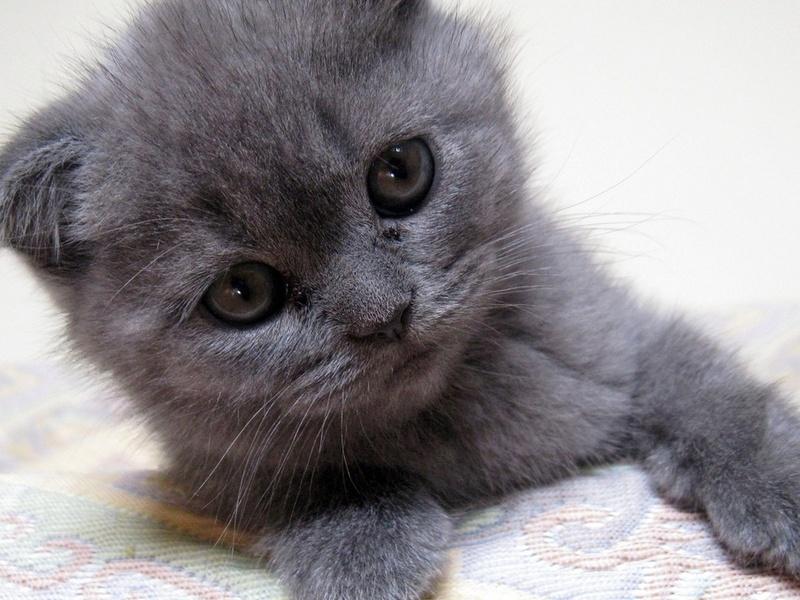 Серый котенок, kitten, gray kitten
