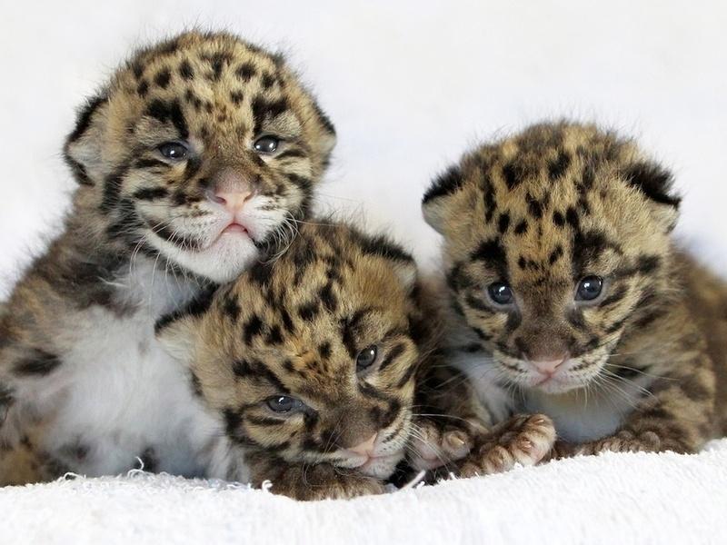 кошка, leopard, детеныши, Леопард