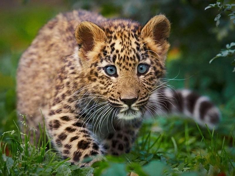 леопард, детеныш, дикая кошка