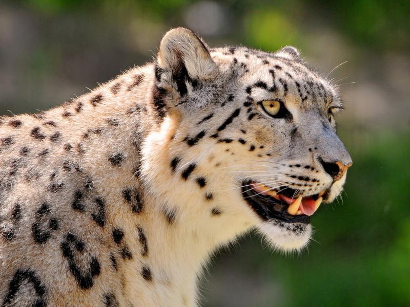 пятнистый, ирбис, снежный барс, snow leopard