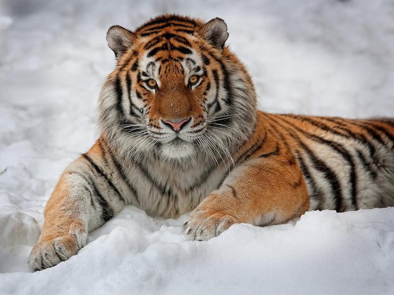 интерес, смотрит, Тигр, лежит, снег, полосатый, взгляд