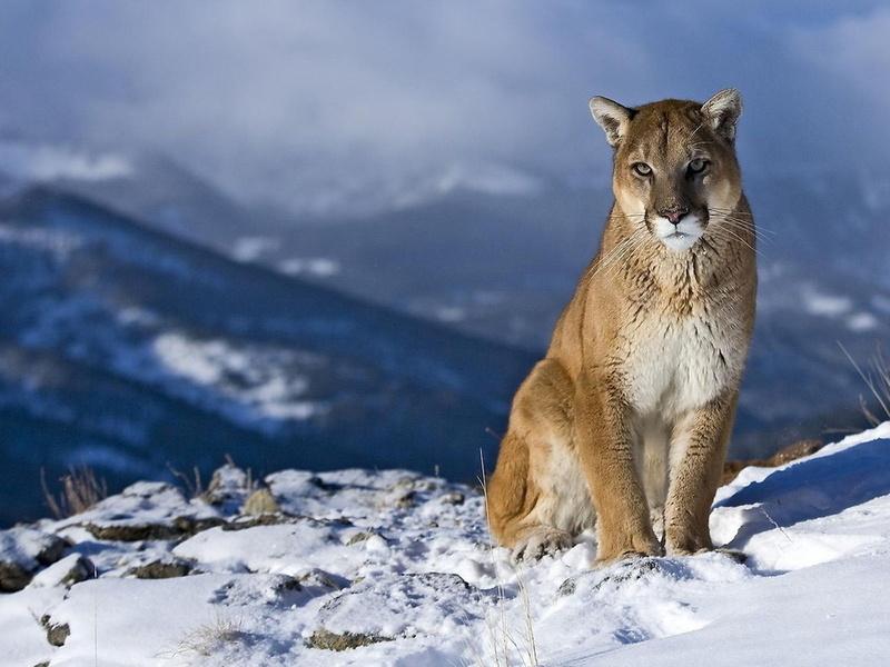пейзаж, кагуар, Пума, любопытство, взгляд, горный лев