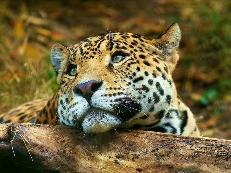 лежит, Леопард, взгляд, leopard