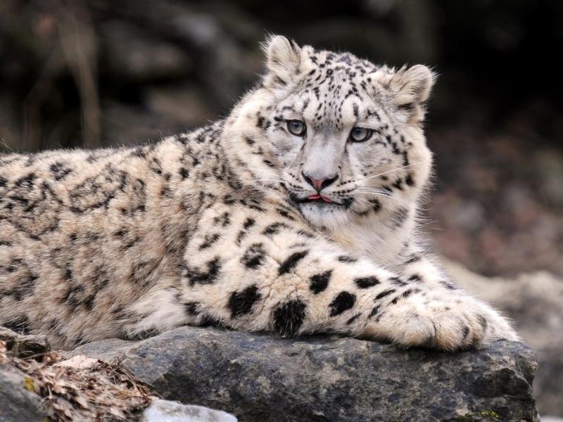 ирбис, леопард, Снежный барс