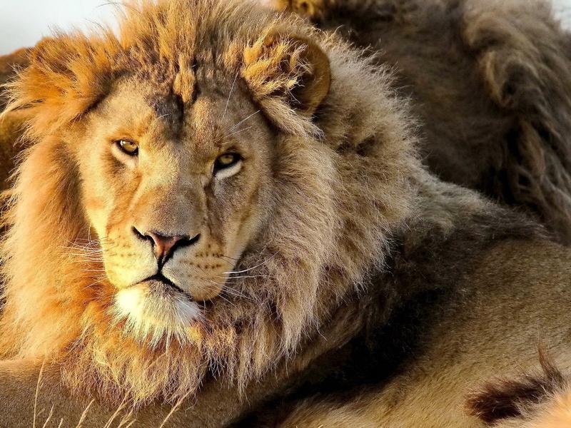 морда, усы, panthera leo, лев, lion, смотрит