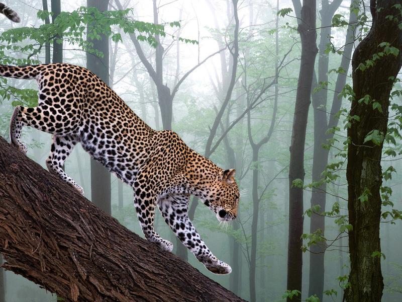 фотошоп, лес, ветка, Leopard