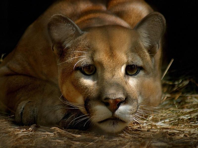 взгляд, усы, морда, Пума, кугуар, горный лев, грустный