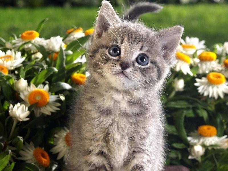 котенок, взгляд, ромашки