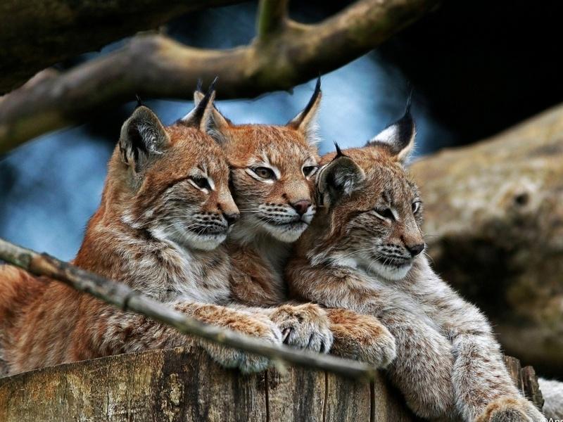 рысь, семейство, лес