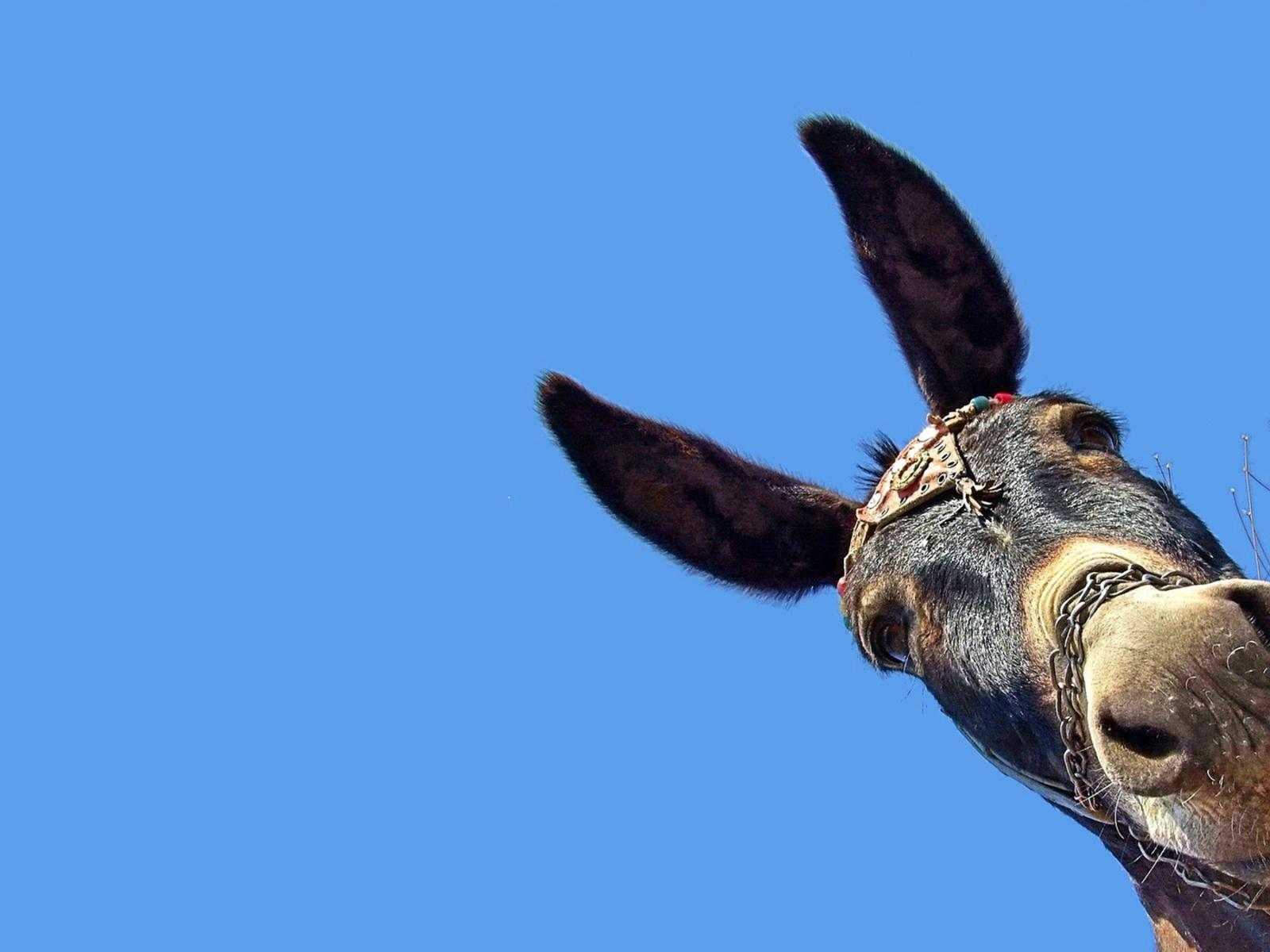 Уши осла