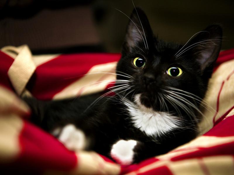 red, black, sweet, cat, kitten, pet, white, animal, blanket, paw