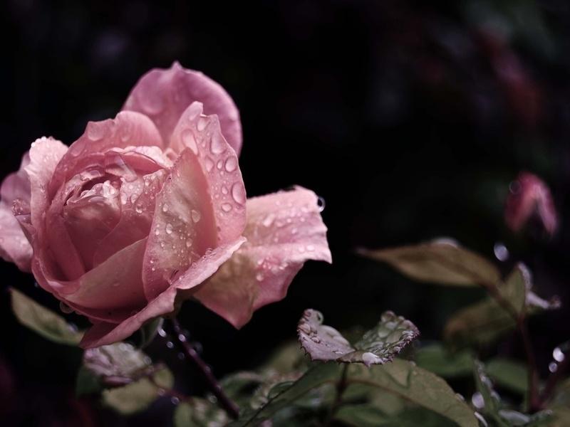 капли, бутон, Роза, розовая, листья, цветок, лепестки