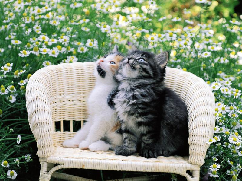 Cat, котэ, киска, цветы, кошка, кот, двое, киса, котенок