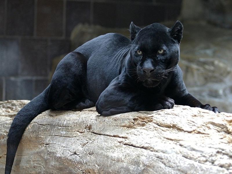 черная, лежит, дикая, кошка, морда, Пантера, на бревне