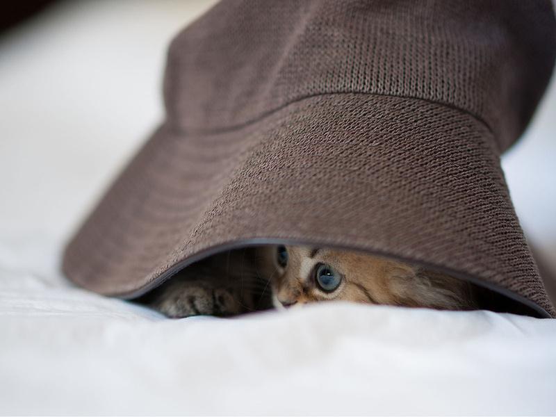 daisy, спряталась, котенок, шляпа, ben torode, панама, Кошка