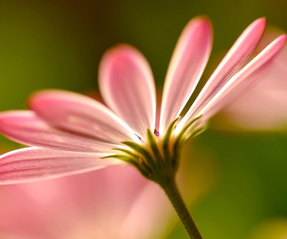 цветы, flowers, pink, розовые, macro, petals