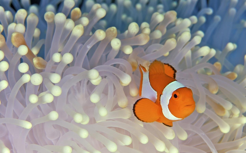 fish, клоун, водоросли, рыба, дно, nemo
