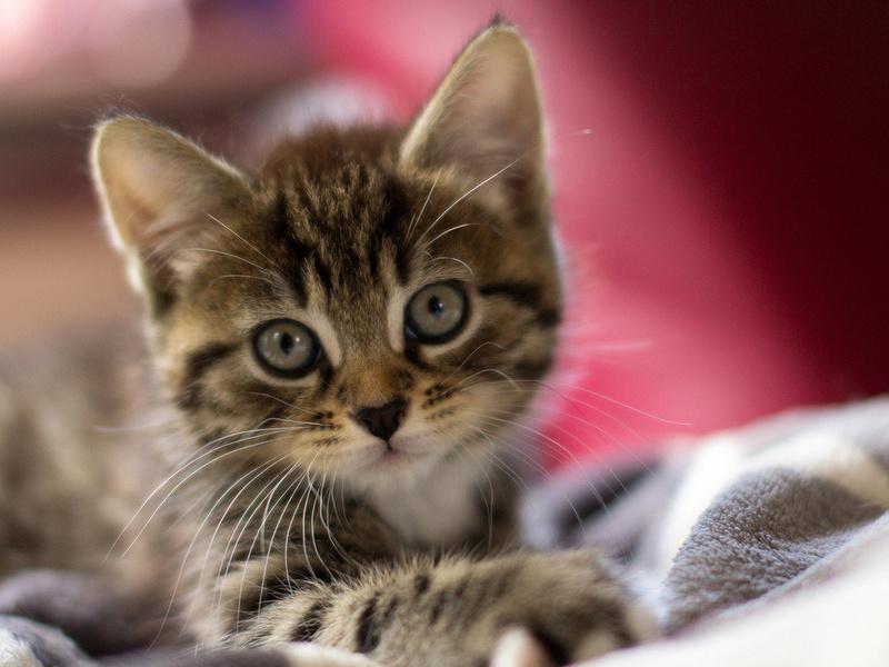 уши, макро, глаза, Кот, мордашка, котёнок, шерсть