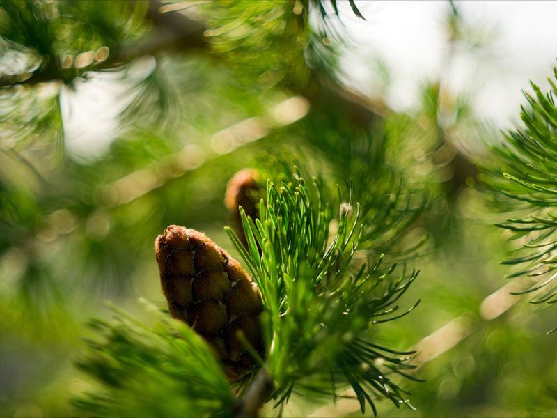 макро, Природа, ветка, шишка, ели, боке