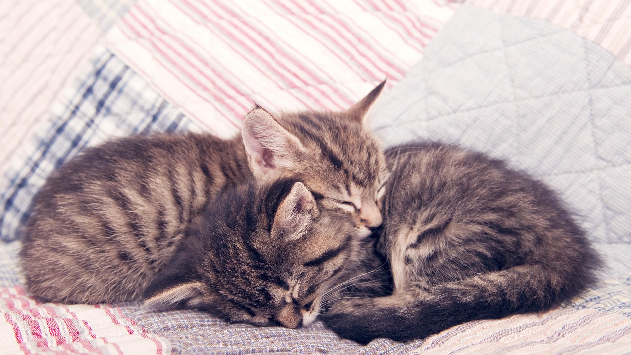 котята, кошки, коты, котики, сон, спящие котята, спокойствие, уют, нежность, малыши, домашние животные, одеяло