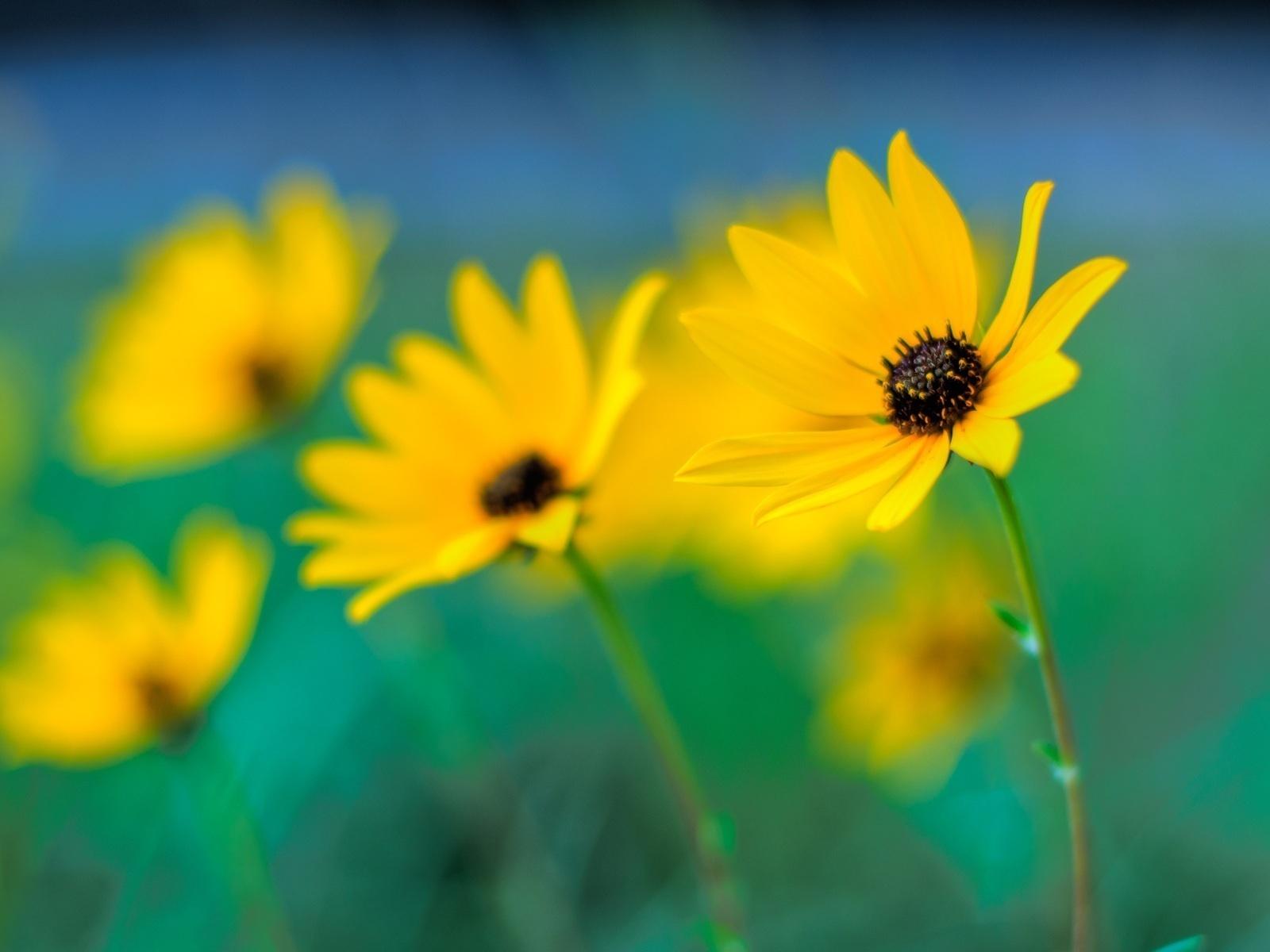 желтые, боке, фокус, цветы, Макро, размытие