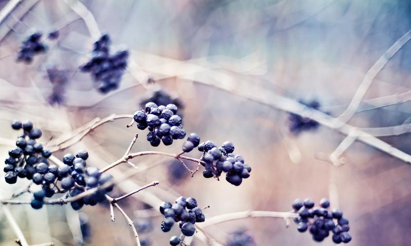 растения, ветки, макро, природа, Ягоды