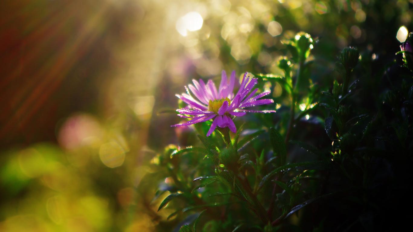 блики, Хризантема, лучи, солнце, цветок, листья, куст